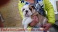 Cachorros de bulldog inglés macho y hembra listos